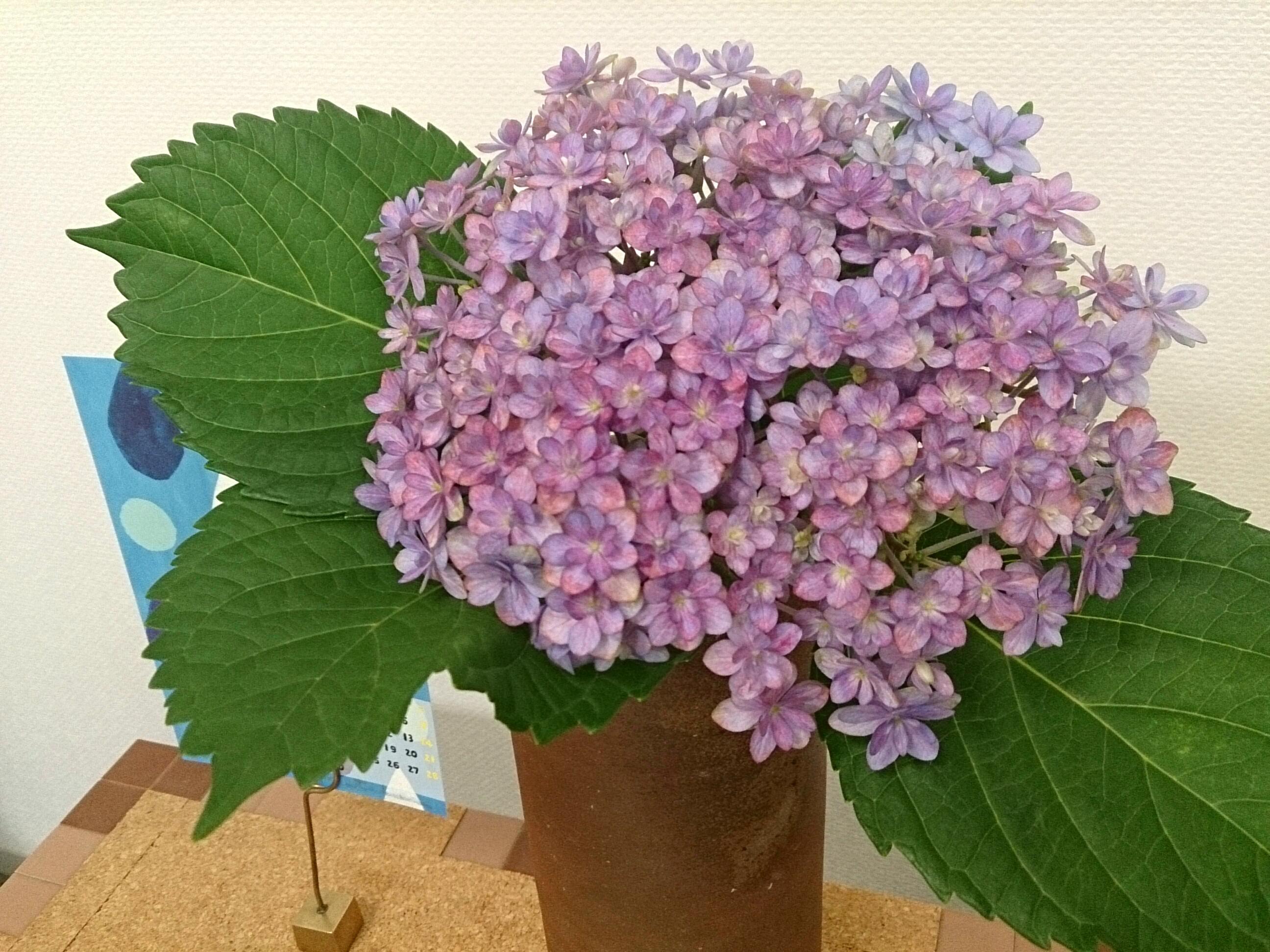 大きいのに小さい紫陽花